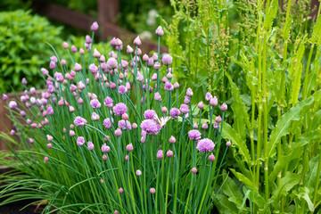 Pied de ciboulette au jardin en fleurs