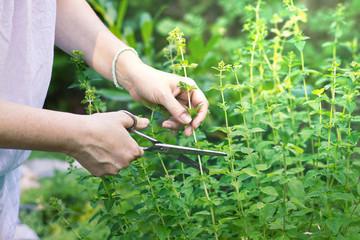 culture de la marjolaine au jardin