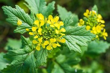 Plant de moutarde au potager