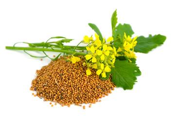 plante et graines de moutarde