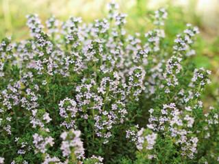 Plant de thym commun en fleur